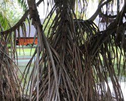 这里树和中国的不一样,这么多根
